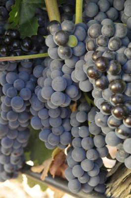 Uva tempranillo utilizada para la elaboración del vino tinto