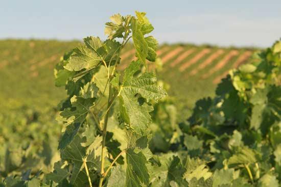 Viñedo de ruta del vino de España