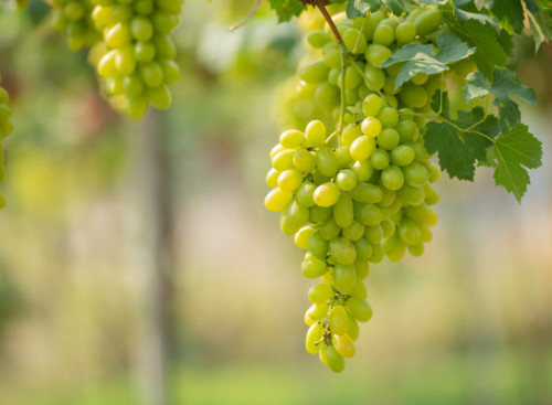 Tipo-de-uvas-blancas-de-Espana
