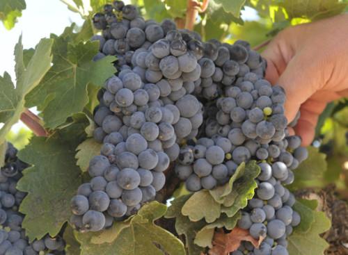Racimo de tipo de uvas para vino tinto