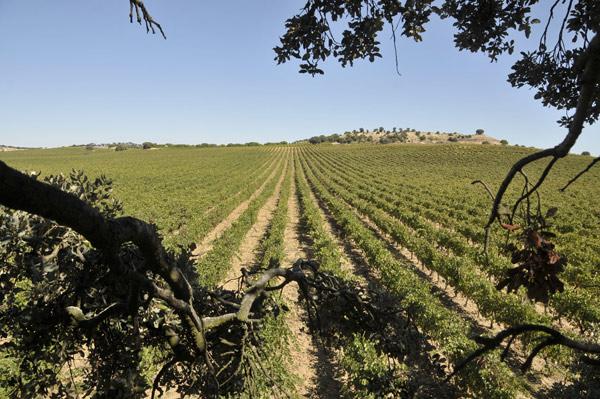 Viñedo con tipos de uvas de España